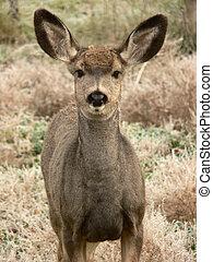Mule Deer Fawn - Large-eared Mule Deer. Fish Creek Park,...