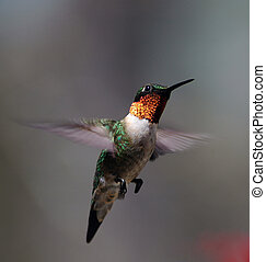 Hummingbird in flight, April 2005.