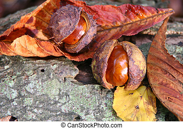 Conkers and autumn leaves - conkers horse chesnut on a log...