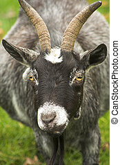 Goat - Close-up of a goat