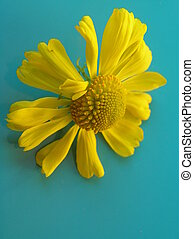 yellow and turquois - photograph of a yellow daisy against a...