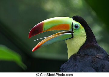 Toucan Profile - Profile of a Toucan, close-up with nice...
