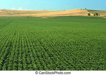 Soybean Field - soybean field near Schuyler, Nebraska