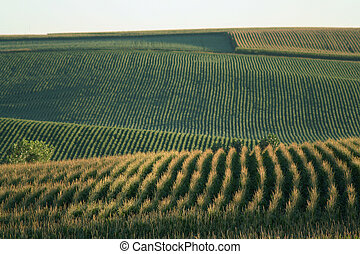 Nebraska Cornfield - cornfield on the rolling hills north of...