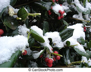 Christmas Holly - Close up focus of Christmas Holly in snow