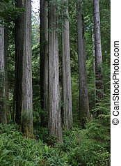 Simpson-Reed Grove - Giant redwoods in Simpson-Reed Grove.