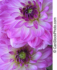 purple couple - photograph of two abundant purple dahlia...