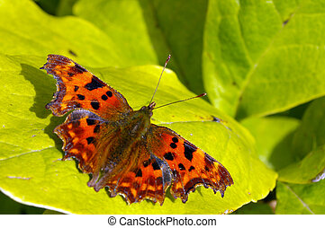 Comma Butterfly 16 - A Comma Butterfly (Polygonia c-album)...