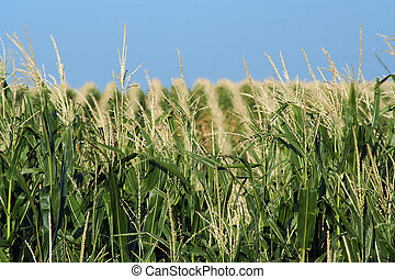 Hilly Cornfield - cornfield on the rolling hills north of...