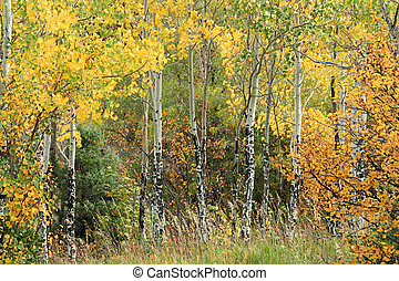 Aspen Grove - intimate aspen grove north of Redstone,...