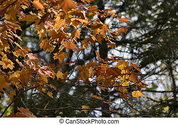Colorful l transparent orange and yellow maple leaves