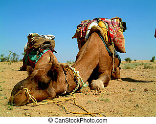 Camel sleeping during a desert safari pause