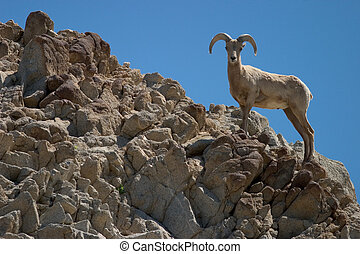 Bighorn Sheep - Profile of a bighorn sheep on rocky...