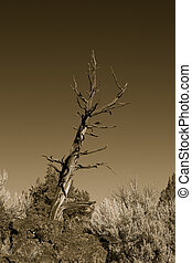 Bristllecone Pine, Oregon Badlands - Photo of a Bristllecone...
