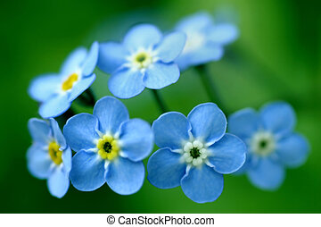 Forget-Me-Nots - Photo of forget-me-nots on green background...