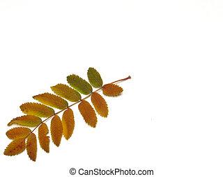 Fall Leaf - Mountain Ash Leaf