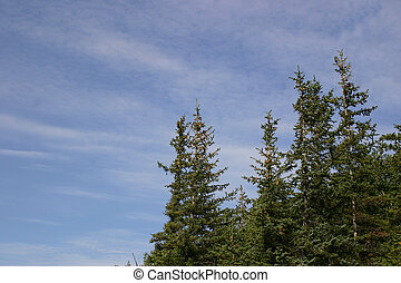 Sitka Spruce and Clouds - Puffy clouds and Sitka spruce on...