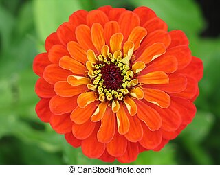 zinnia flower close-up