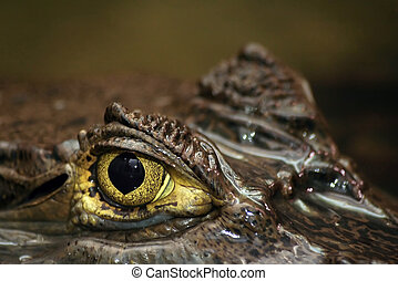 Spectacled Caimans Eye - Shot of eye of partially submerged...