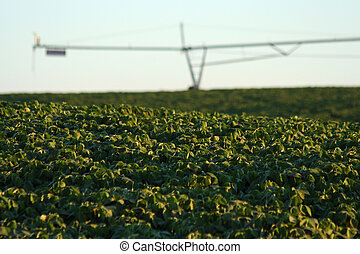 Soybeans,and Pivot - soybean field and center pivot...
