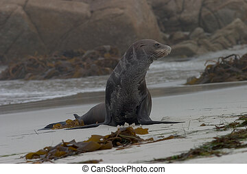 Old Sea Lion on the Beach - An old, one-eyed sea lion that...