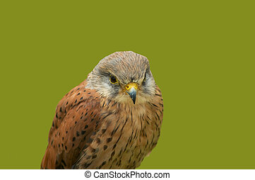 Kestrel portrait, scotland 2005