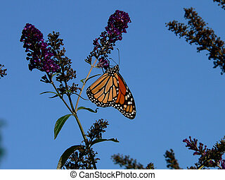 Royal on Blue - Monarch Butterfly