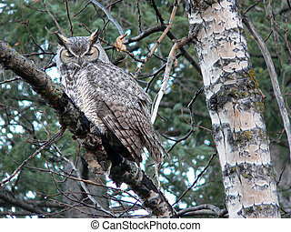 Great Horned Owl Asleep - Great Horned Owl (Bubo...
