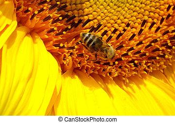 abelha, girassol