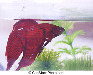 fighter-fish#3 - chinese fighting fish