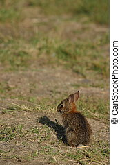 Brush Rabbit - Brush rabbit on the Oregon Trail - Whitman...