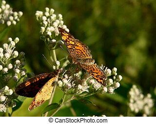 Face to face - Butterflies