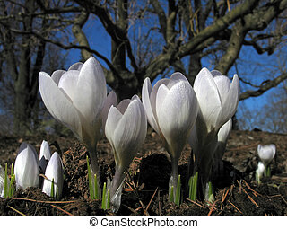 blooming crocuses - four blooming crocuses