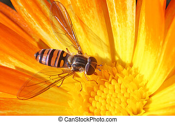 Hoverfly on the calendula. Brightly coloured winged insect...