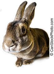 fisgón, conejo