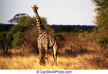 Giraffe in Kenya - Taken on a Safari in the Tsavo-East...