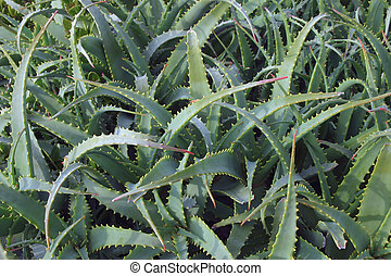 Intertwined - Aloe plant leaves intertwined, suitable for...