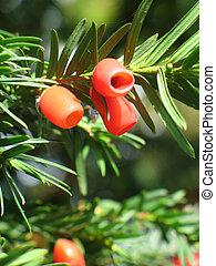 ewe - red berries on ewe tree