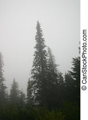 Ghost Trees - Ghostly Sitka spruce emerge from thick fog