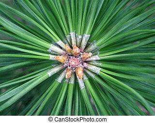 pine - macro photo