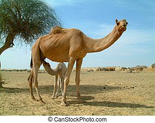 bebé, camello, alimentación