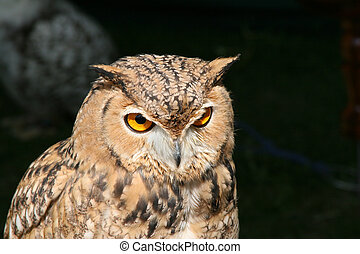Owl prortrait - Tawny brown owl portrait with dark...