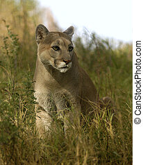 Cougar in Grass - Cougar sitting long grass