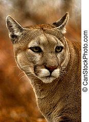 Fall Cougar - Cougar staring autumn colors