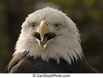 Bald Eagle Portrait - Bald Eagle squawking