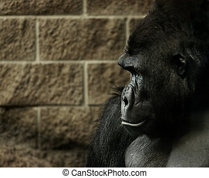 Gorilla with Wall - Gorilla next to a brick wall