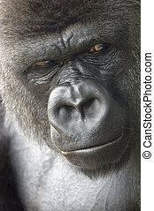 Gorilla Portrait - Close-up gorilla portrait