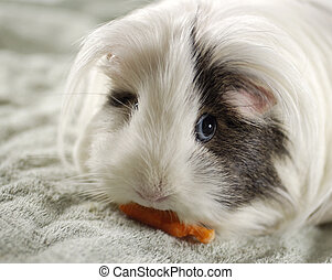 Guinea Pig Eating - Guinea Pig eating carrot