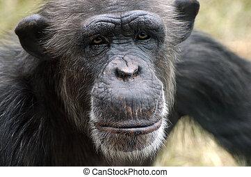 Chimpanzee Portrait - Chimpanzee portrait face closeup