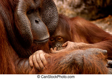 Orangutan Family - Father, son orangutan family snuggling...